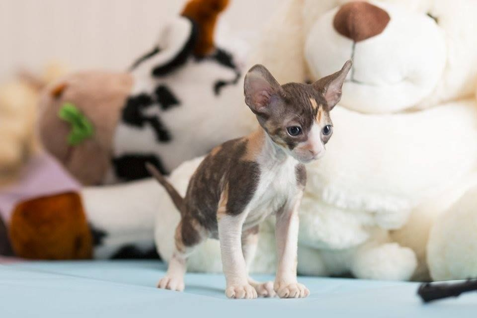 Cornish Rex Kittens Available