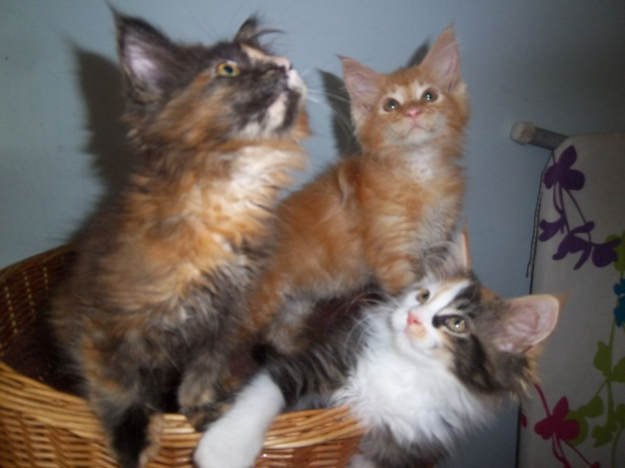 Beautiful Gccf Reg Maine coon Kittens