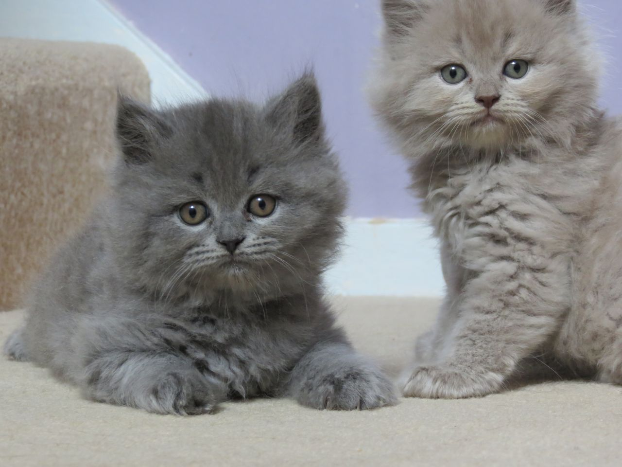 Pure Scottish Fold Blue kittens