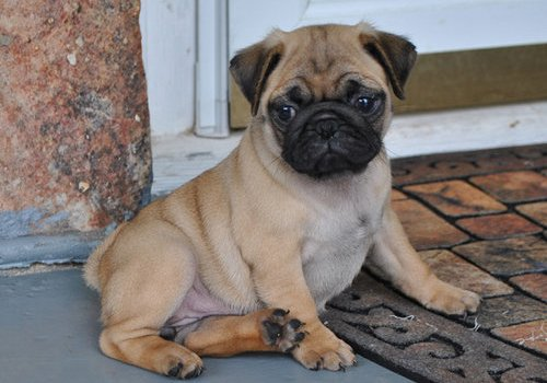 pug puppy for adoption in end loving home