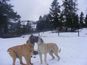 Beautiful FEMALE English Mastiffs