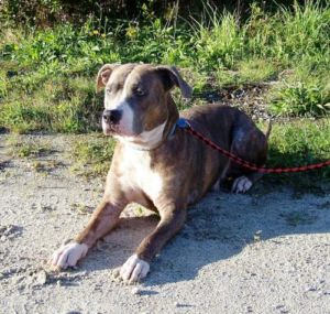 Adult Male Dog - American Staffordshire Terrier: \