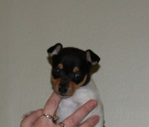 Adorable Toy Fox Terrier Puppies