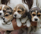 pup beagle for sale