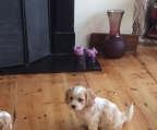 cavapoo puppies for sale