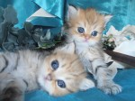 2 Adorable Sired Exotic Persian Kittens Left