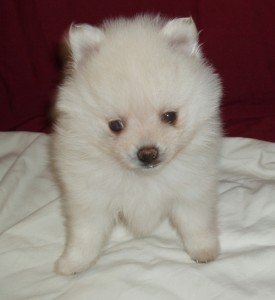 Cream White Pomeranian Puppies Available