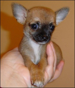Good looking male and female chihuahua puppies