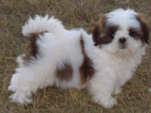 MALE AND FEMALE SHIH TZU PUPPIES