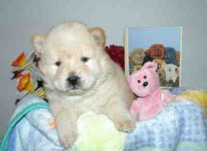 beautiful purebred Chow Chow Puppies