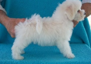 akc excellent Bichon Frise Puppies for new and caring families