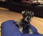 pup Schnauzer for sale