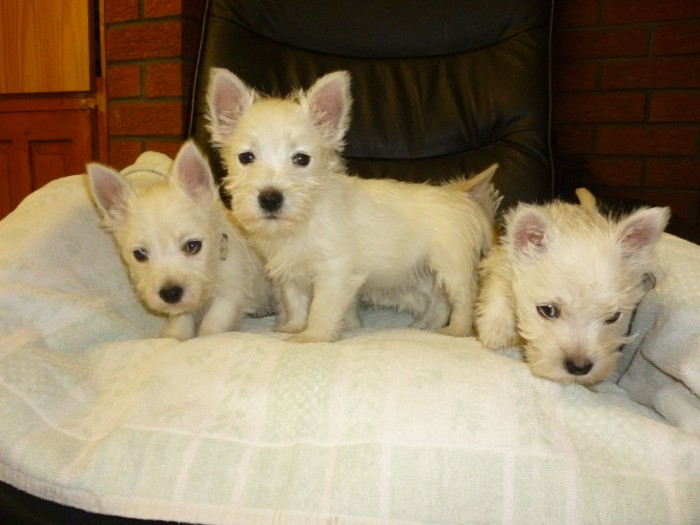13 Weeks Old and West Highland Terrier Puppies.