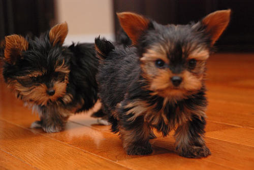Yorkshire Terrier Puppies mini-