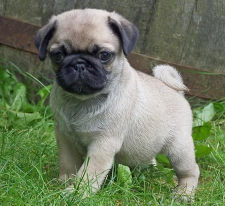 pug dog for adooptin